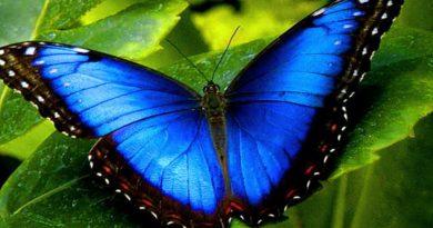 borboleta azul psiqueasy